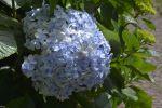 hortensia-fleurs-exotiques-fonds-ecran-hd_11