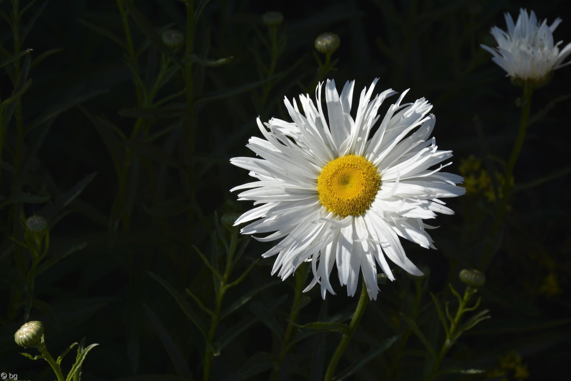 marguerite-fleurs-exotiques-fonds-ecran-hd_17