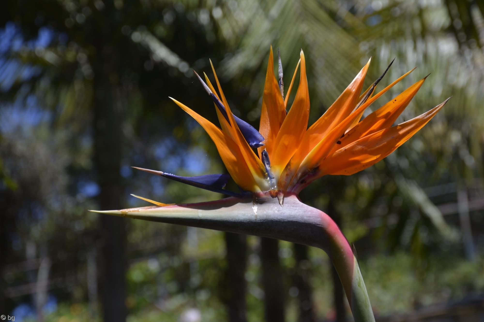 oiseau-de-paradis-fleurs-exotiques-fonds-ecran-hd_13
