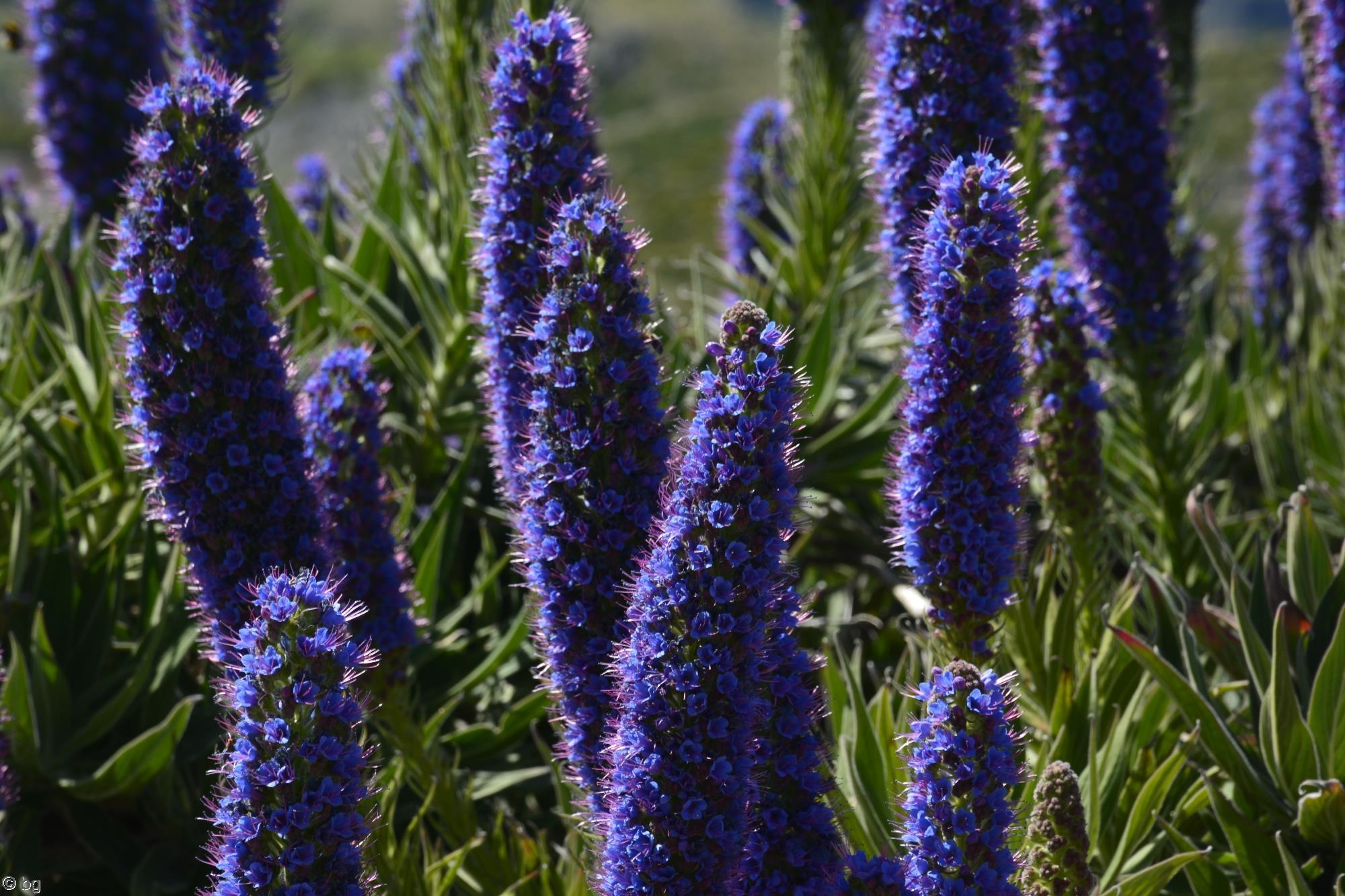 viperine-de-madere-fleurs-exotiques-fonds-ecran-hd_20