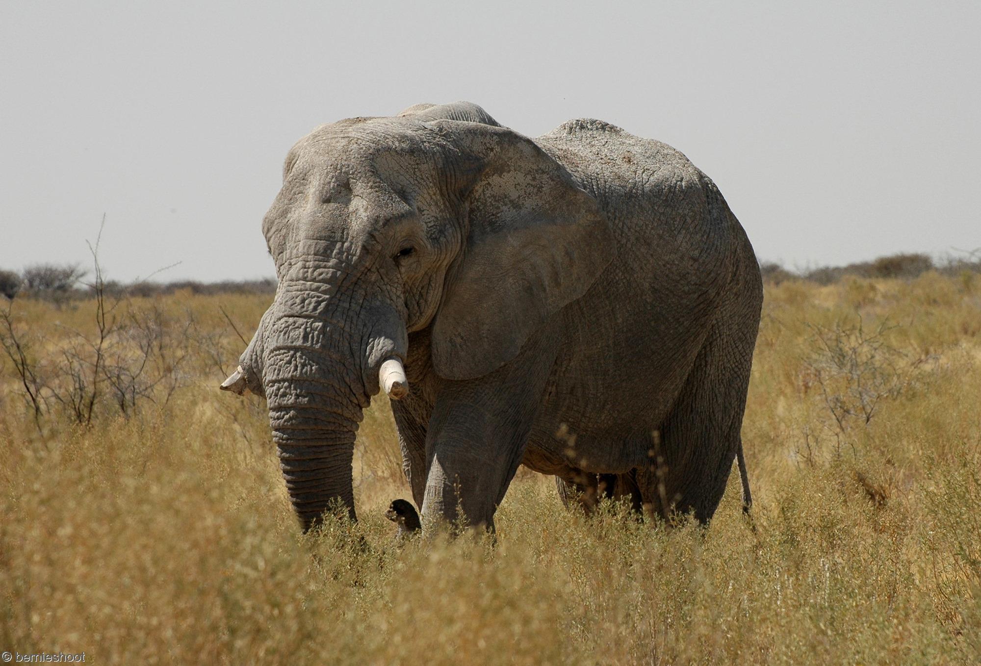 elephant_namibie_etosha_savane-africaine
