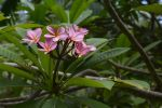 plante-grasse-fleur-rose