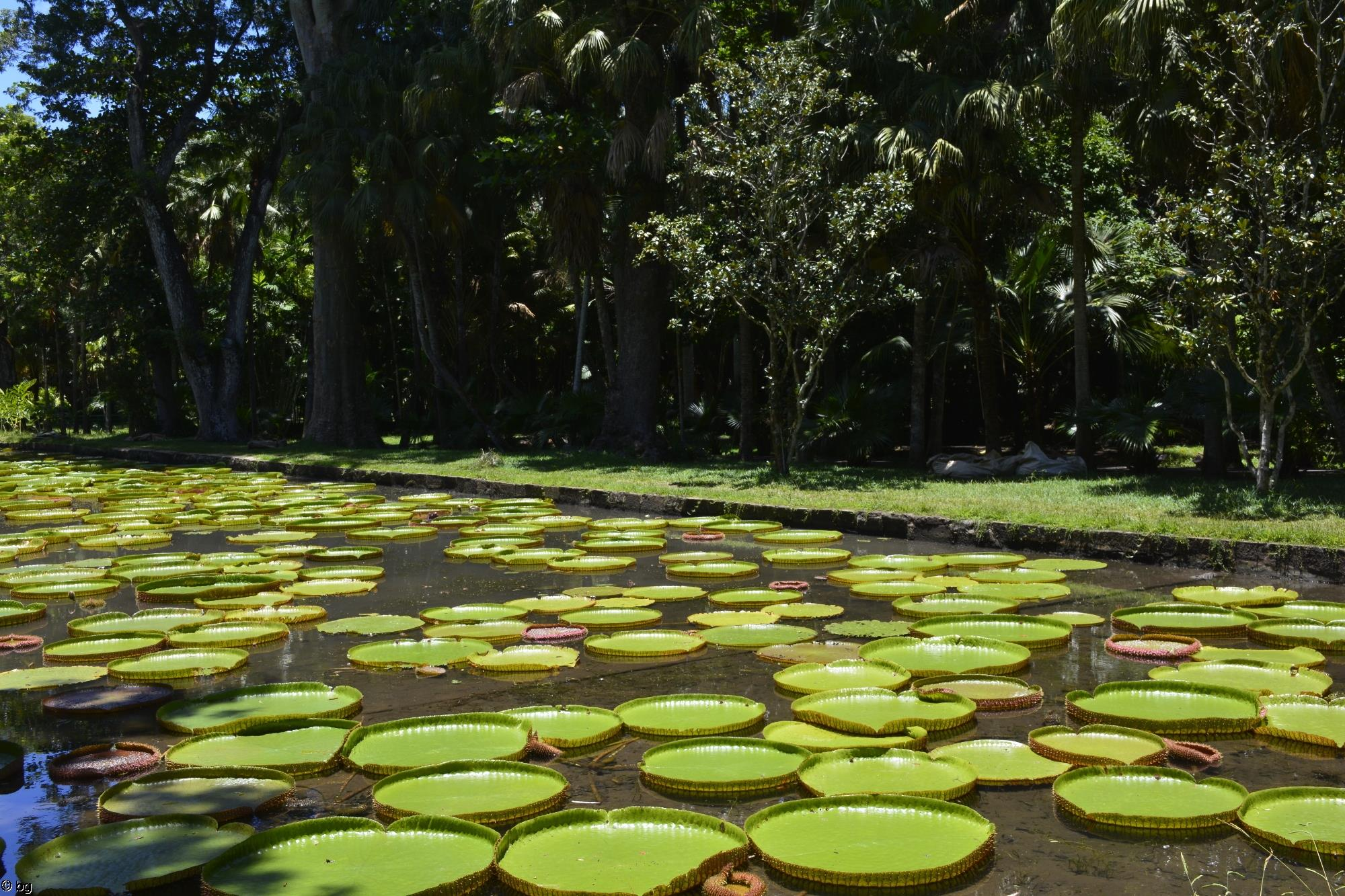 jardin-pamplemousse_ile-maurice