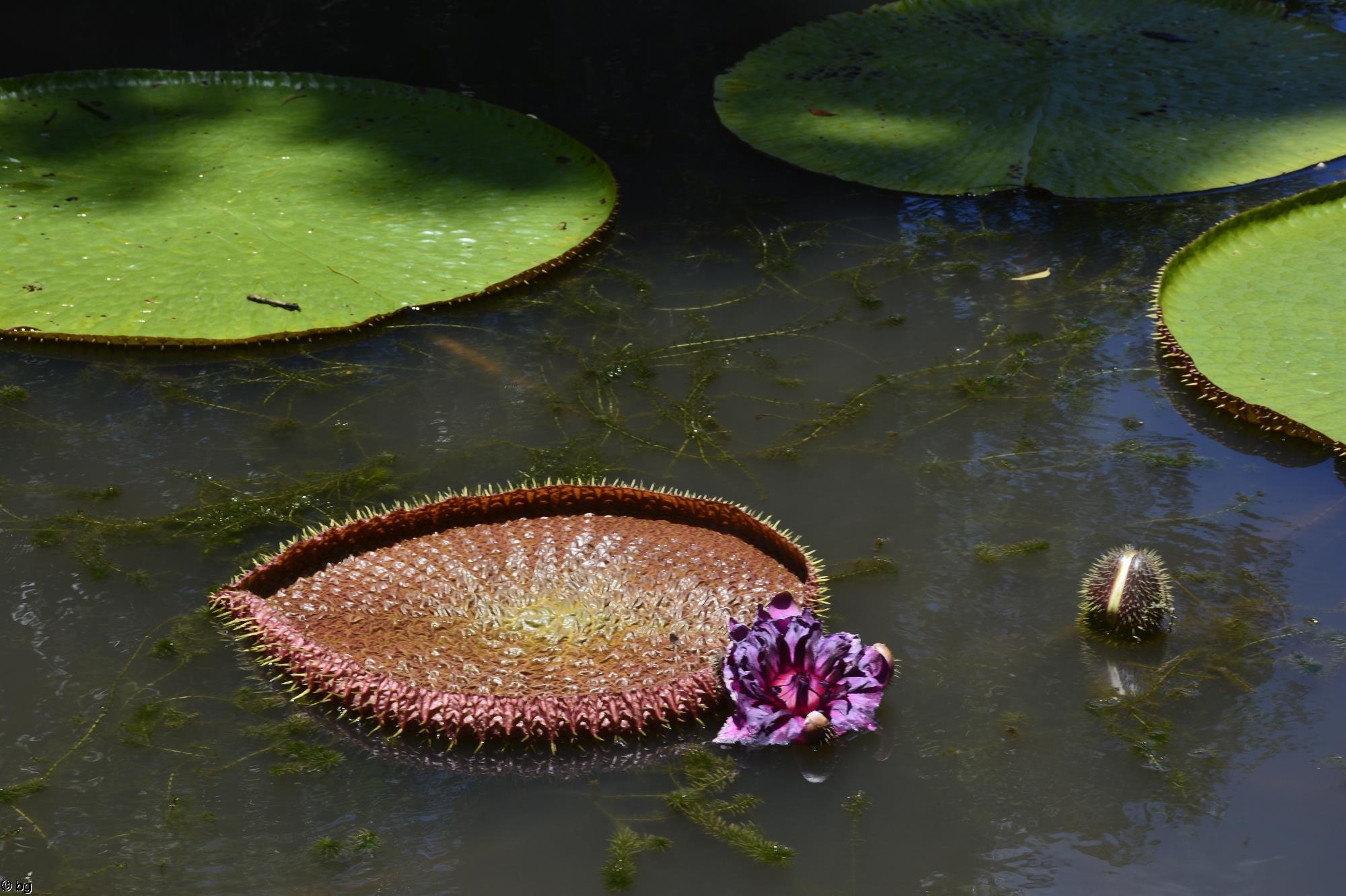 nenuphars-geants_fleurs_1