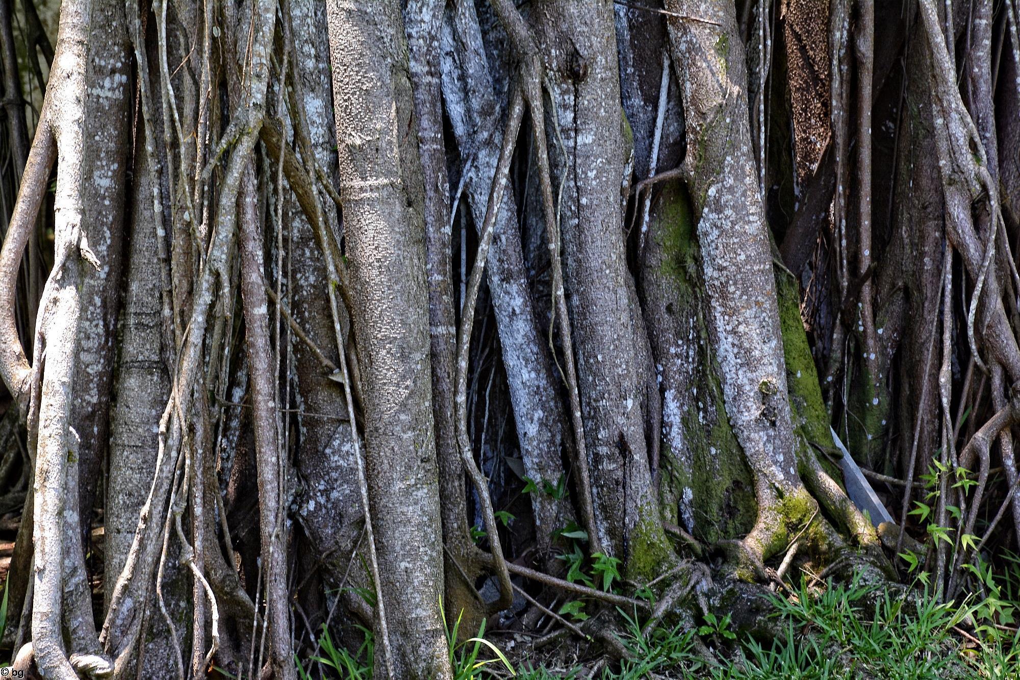 banian_racines