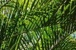 palmier-feuillage