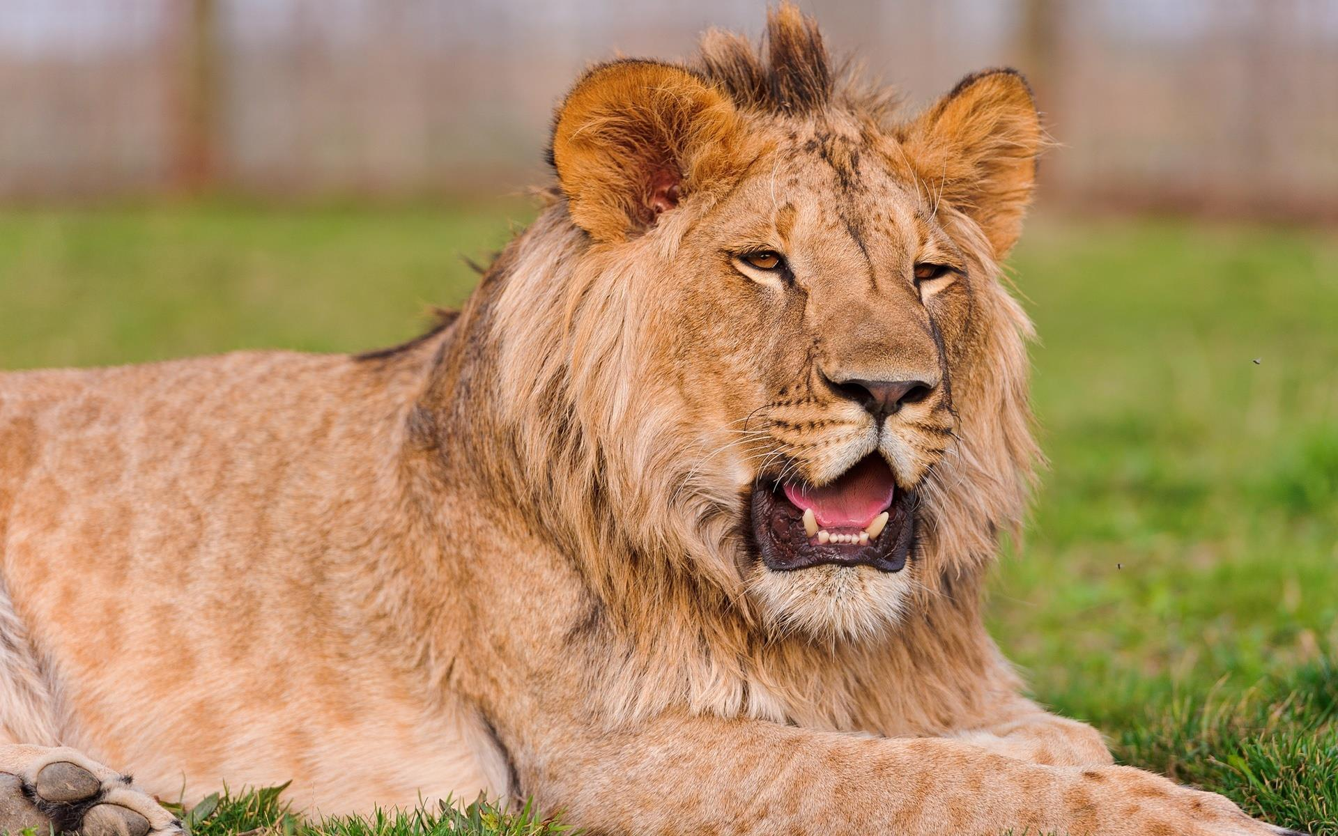 LION_animaux-sauvages_HD-a-telecharger_06
