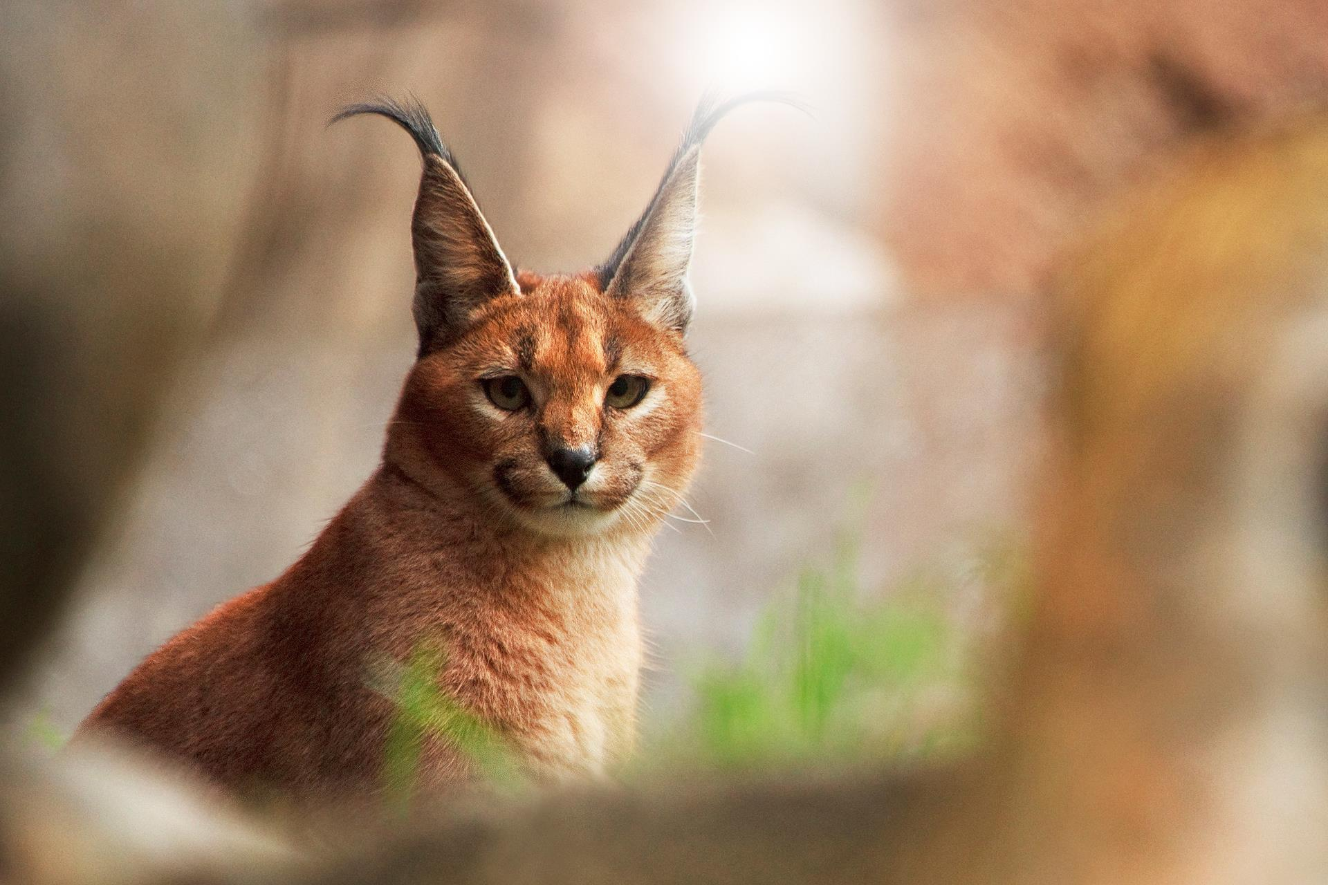 caracal_animaux-sauvages_HD-a-telecharger_19
