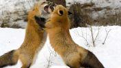 combat-de-males_animaux-sauvages_HD-a-telecharger_11