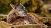 faon_animaux-sauvages_HD-a-telecharger_14