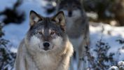 loup_animaux-sauvages_HD-a-telecharger_18