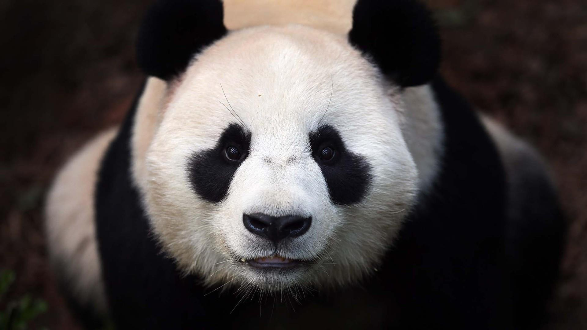 panda_animaux-sauvages_HD-a-telecharger_12
