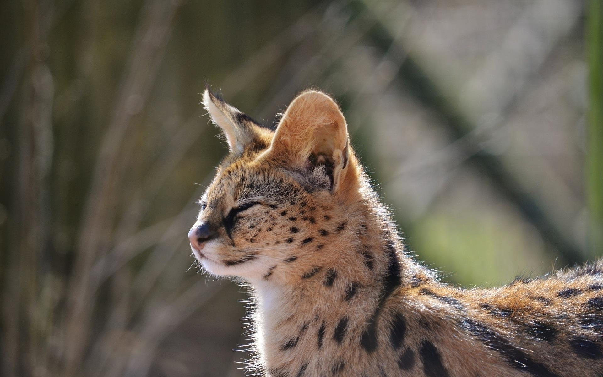 serval_animaux-sauvages_HD-a-telecharger_09