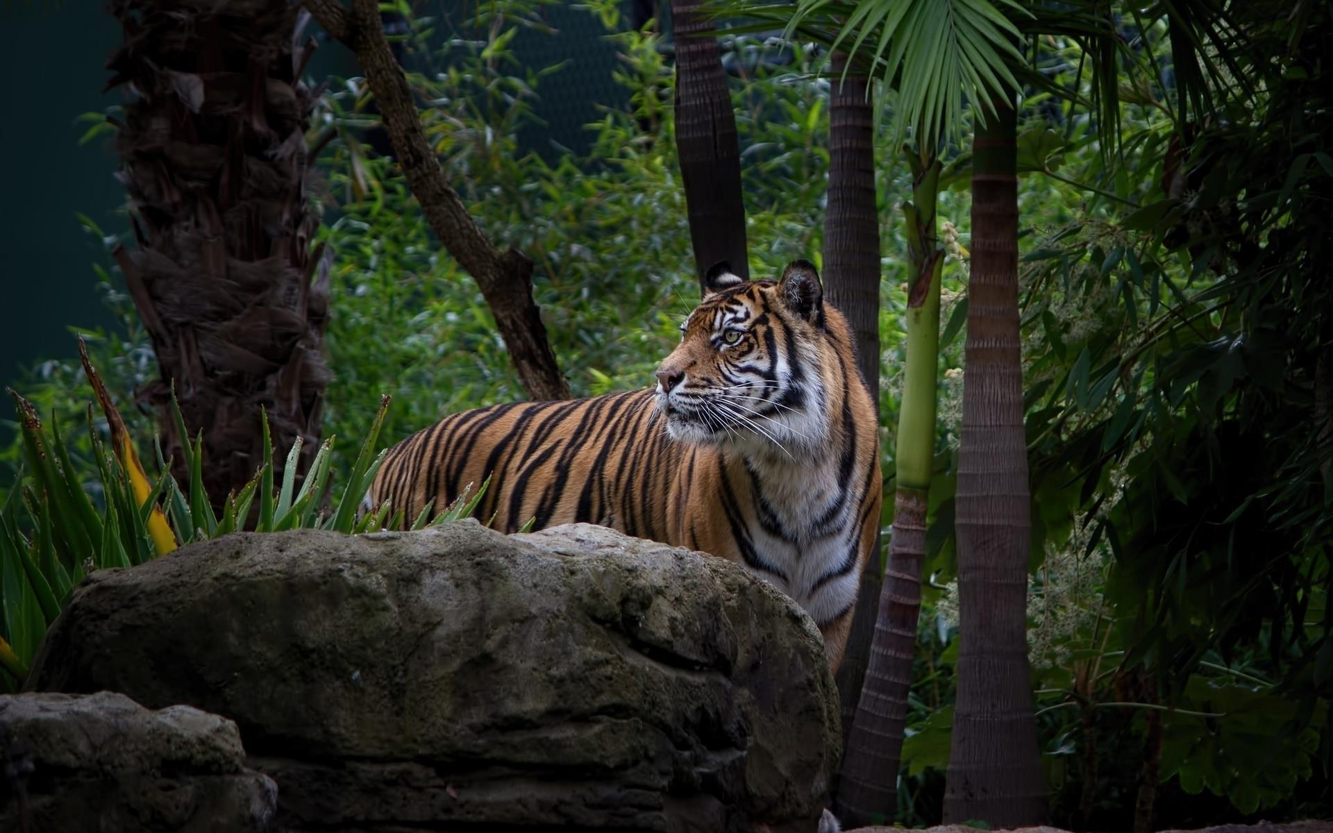 tigre-royal_animaux-sauvages_HD-a-telecharger_10