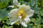 fleur-de-lotus_en-grand-format_4