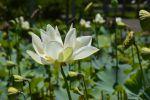 fleur-de-lotus_en-grand-format_5