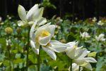 fleurs-de-lotus-blanches_grand-format_2