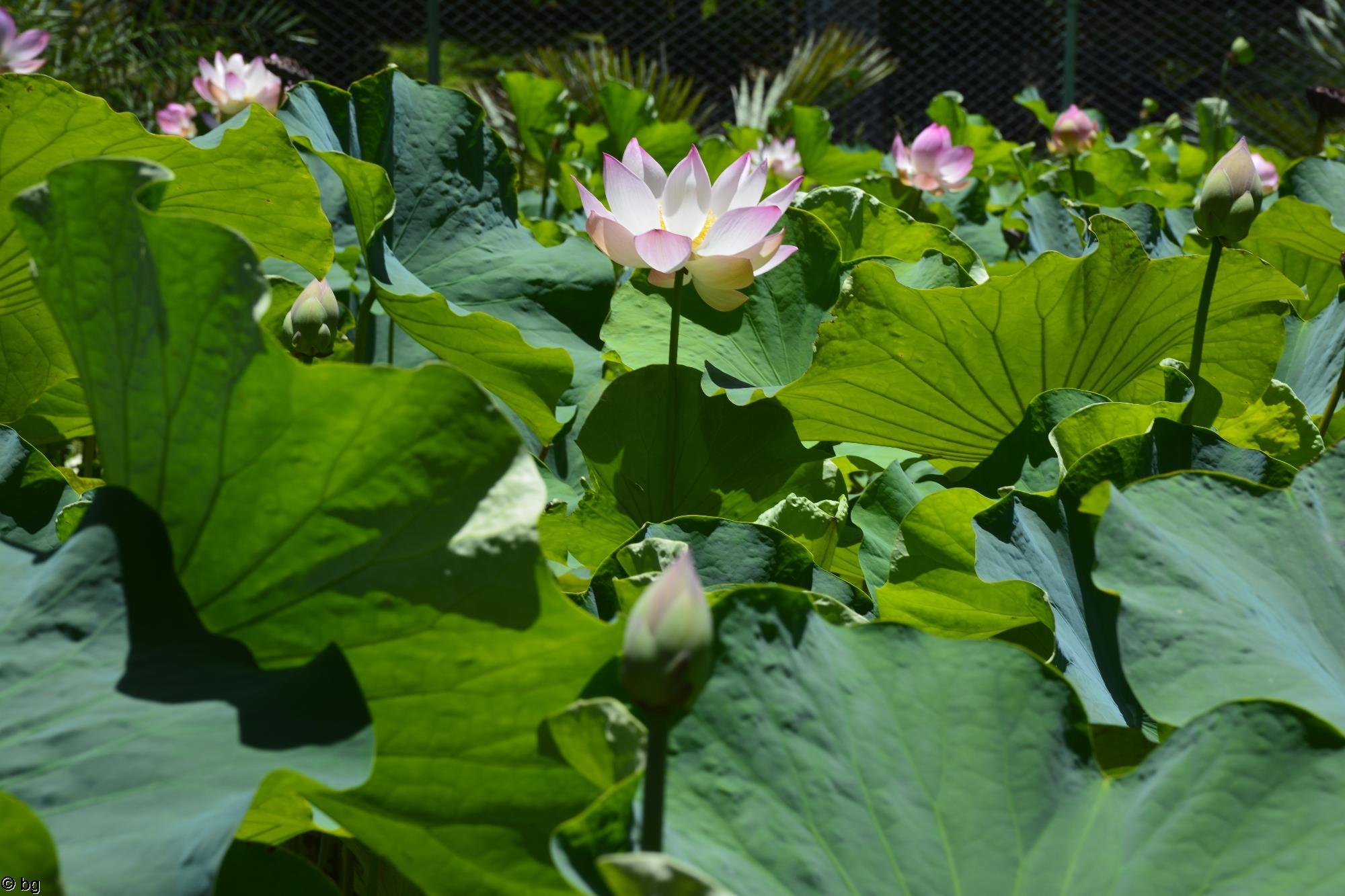 fleurs-de-lotus_bassin-naturel_1