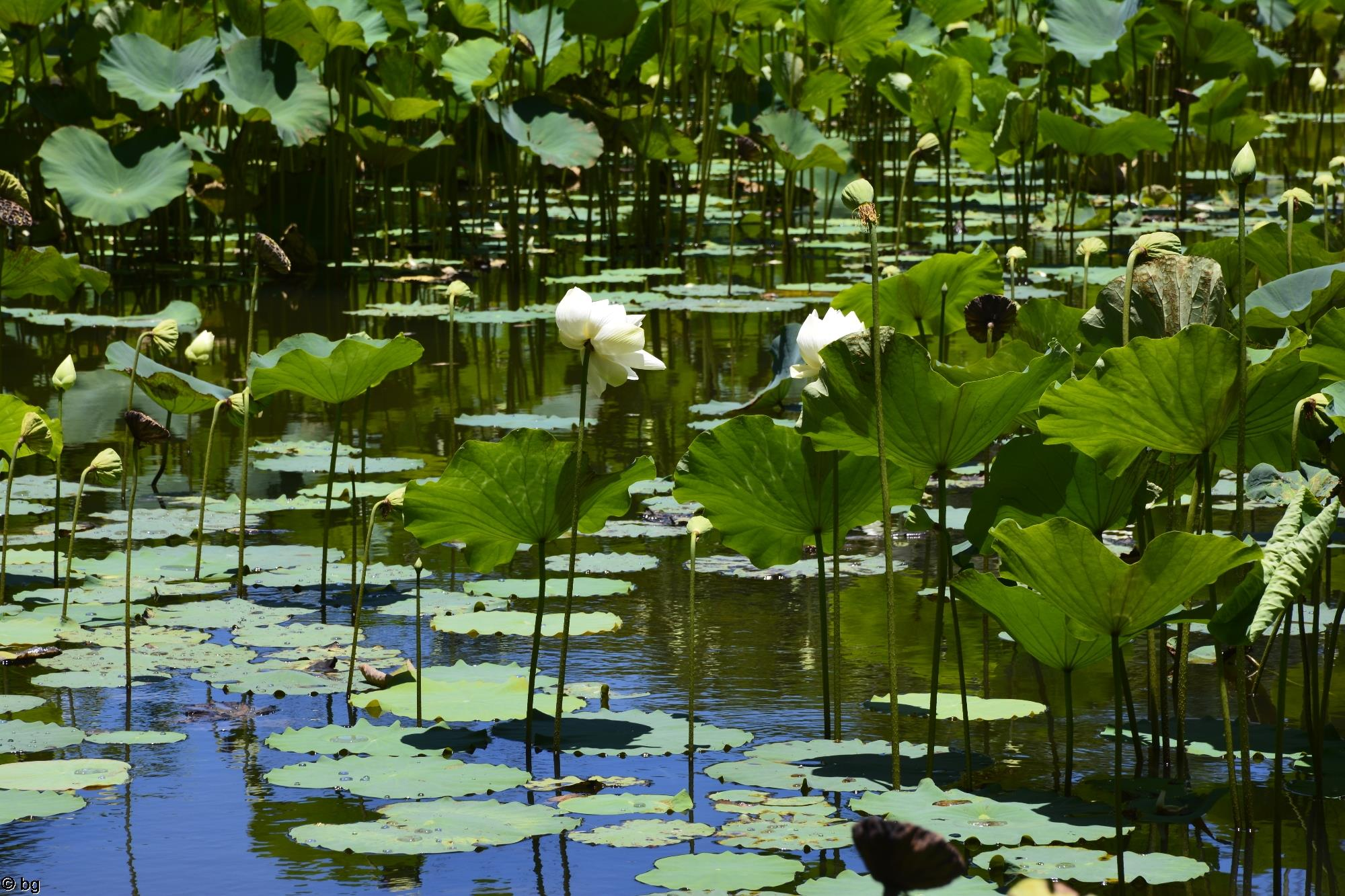 fleurs-de-lotus_bassin-naturel_3