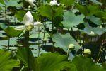 fleurs-de-lotus_bassin-naturel_4