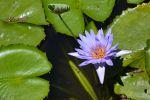 nenuphar-bleu_fleur_HD_2