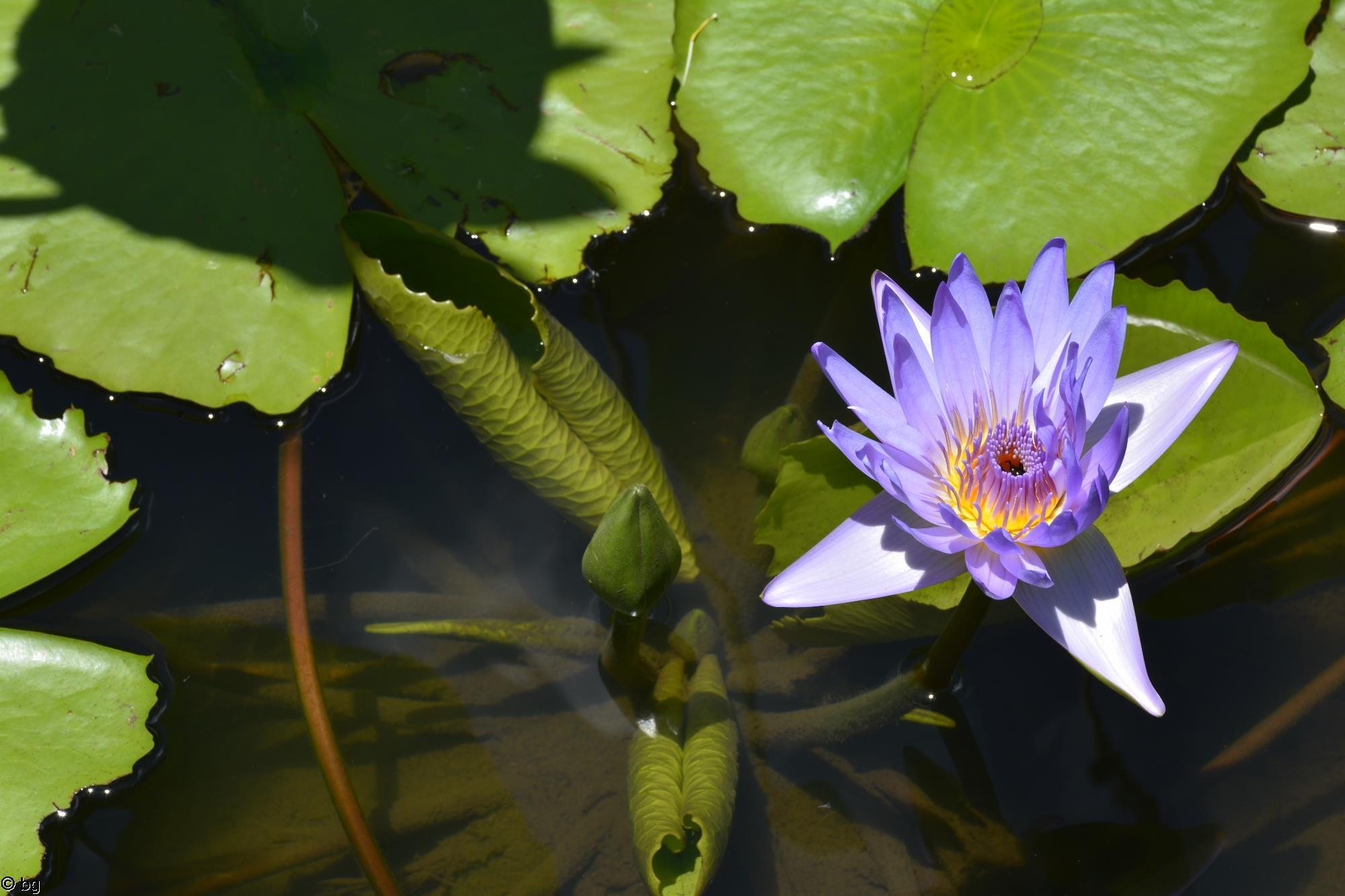 nenuphar-bleu_fleur_HD_3