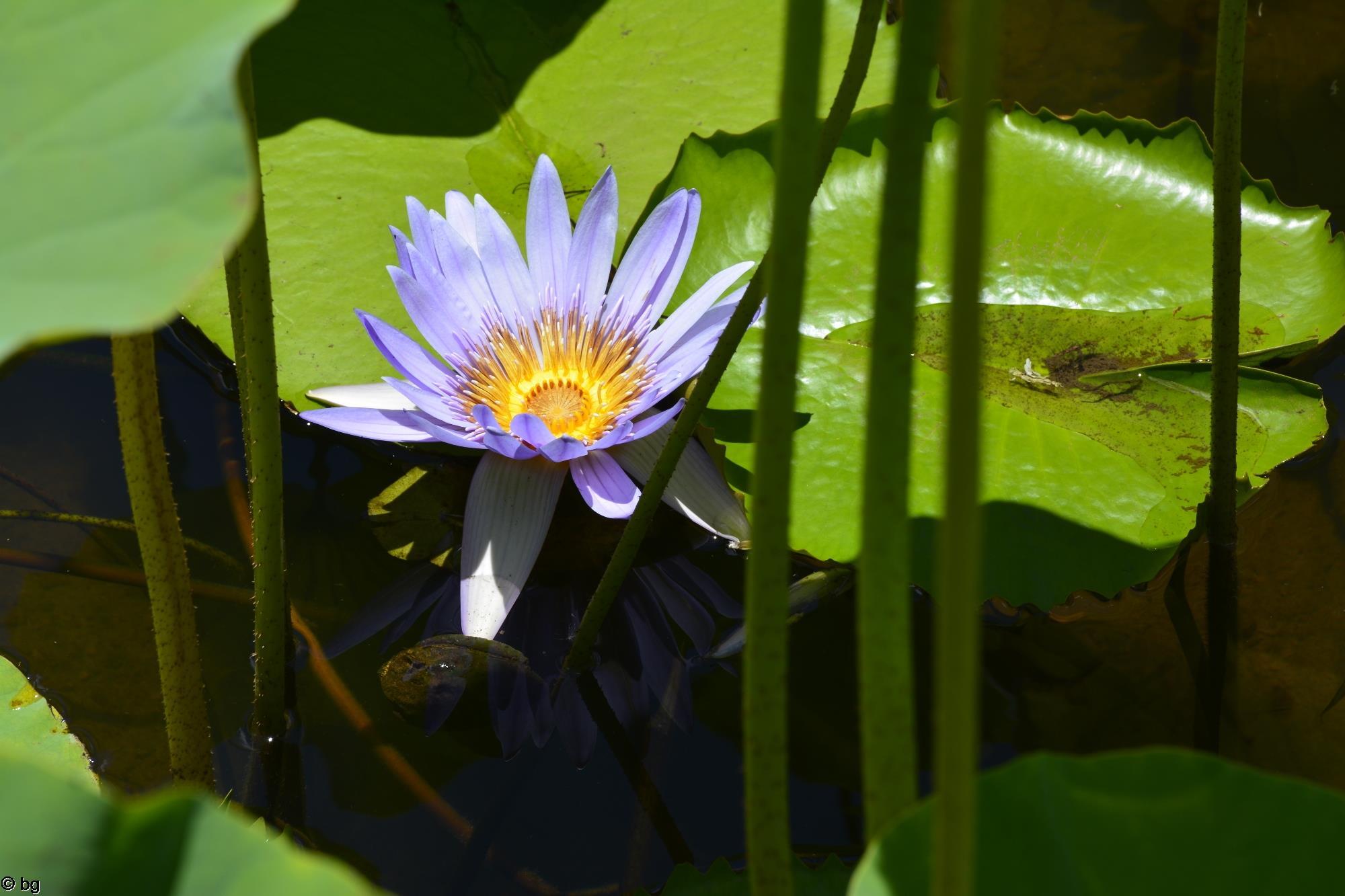 nenuphar-bleu_fleur_HD_4