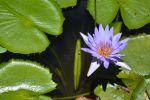nenuphar-bleu_fleur_HD_5