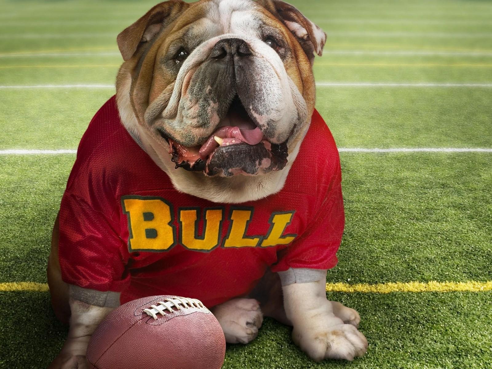 bull-le-chien-sportif