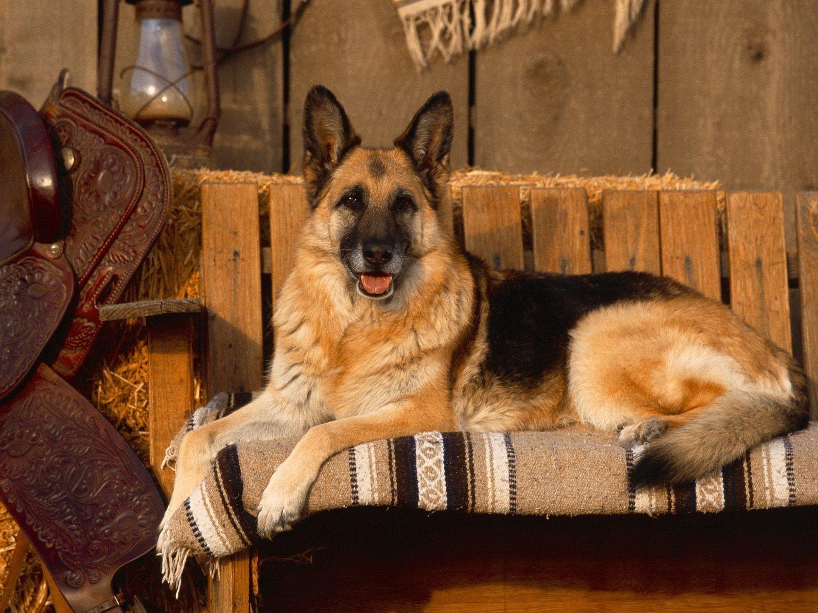 fond-ecran_chiens_3