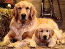 fond-ecran_chiens_4