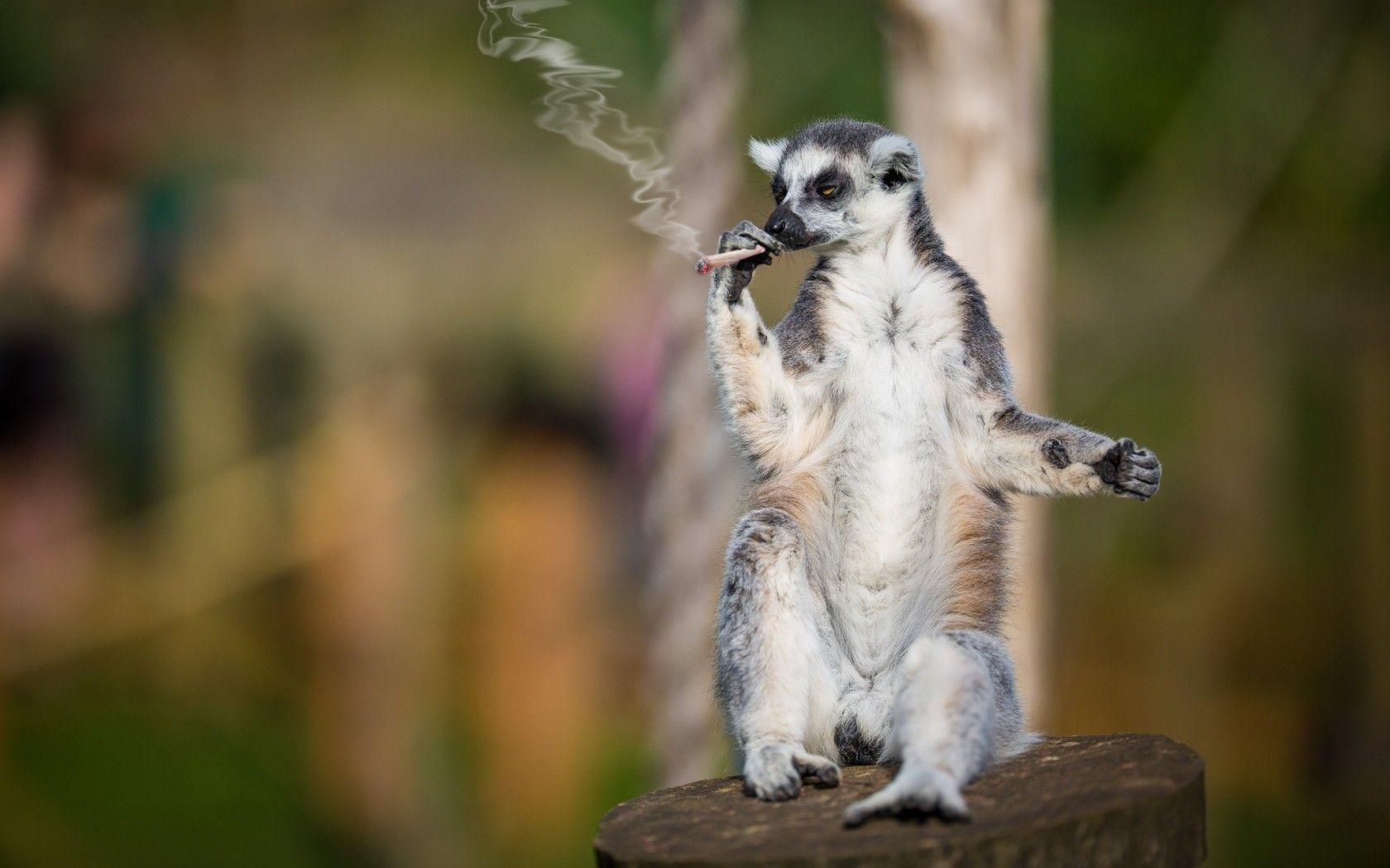 surricat-fumeur_humour