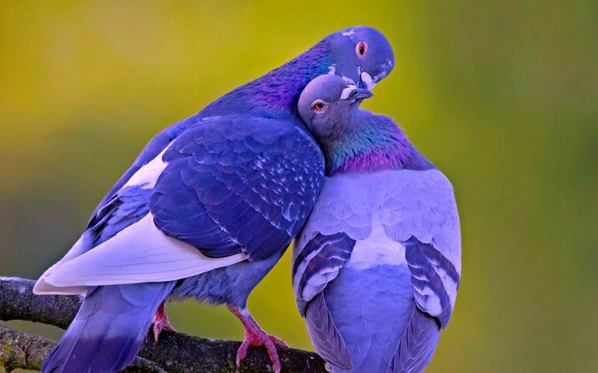 amour-couple-oiseaux