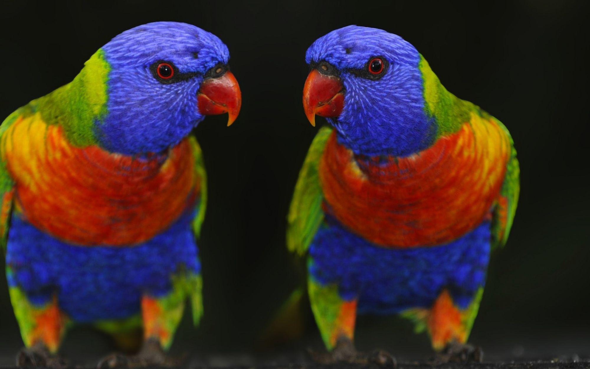 couleurs-des-oiseaux-en-couple