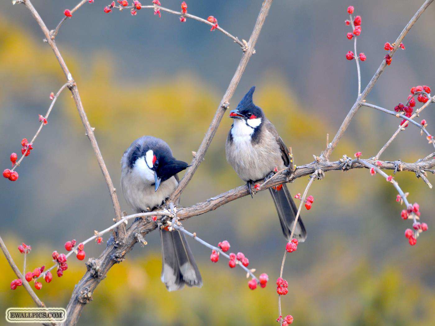 huppes-oiseaux-en-couple