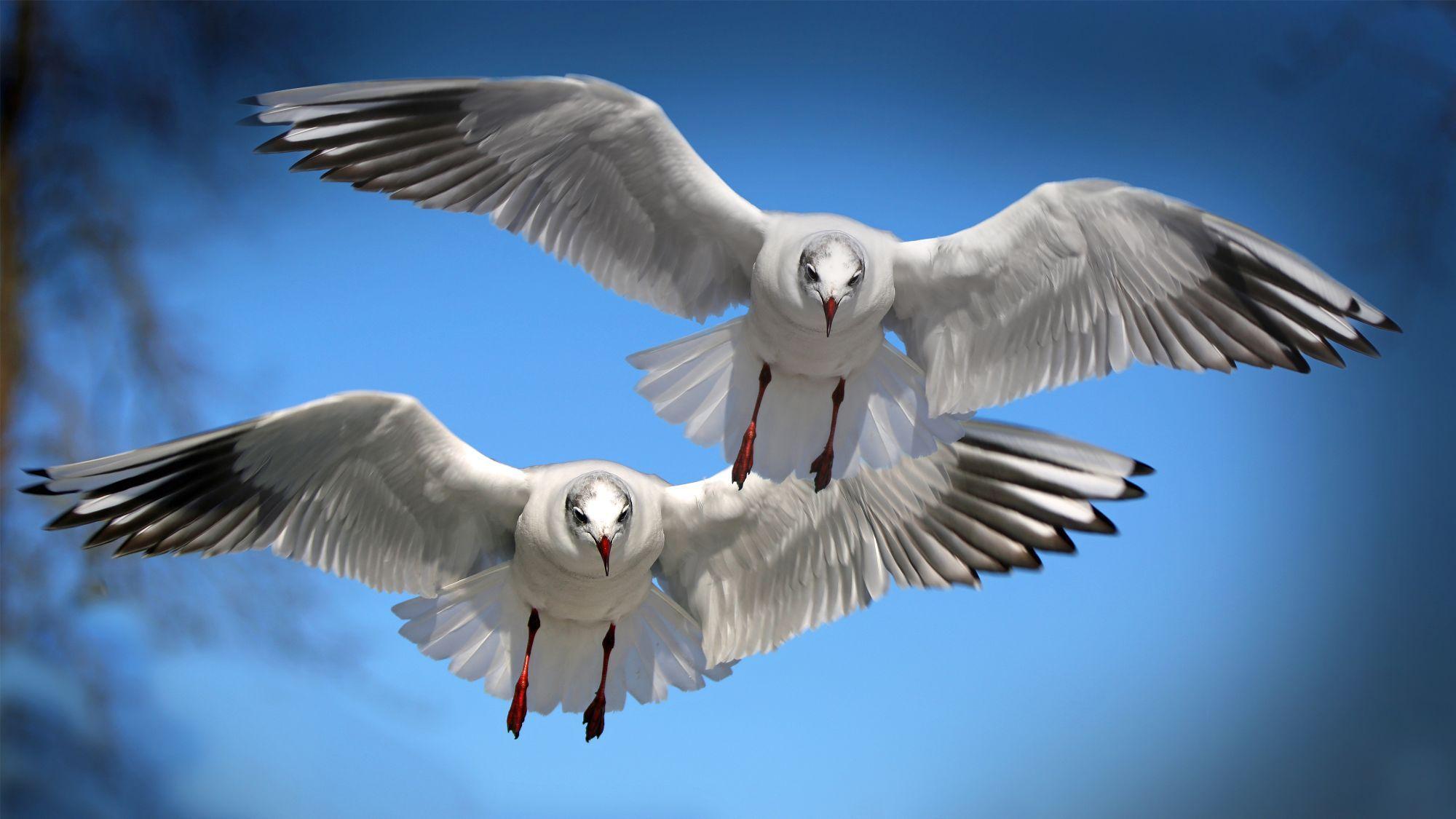 mouettes-les-oiseaux-vivent-en-couple