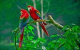 perroquets-les-oiseaux-vivent-en-couple