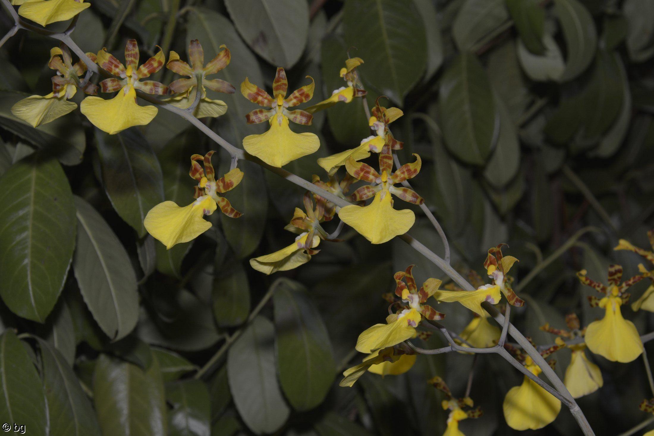 des-orchidees-rares-guirlande