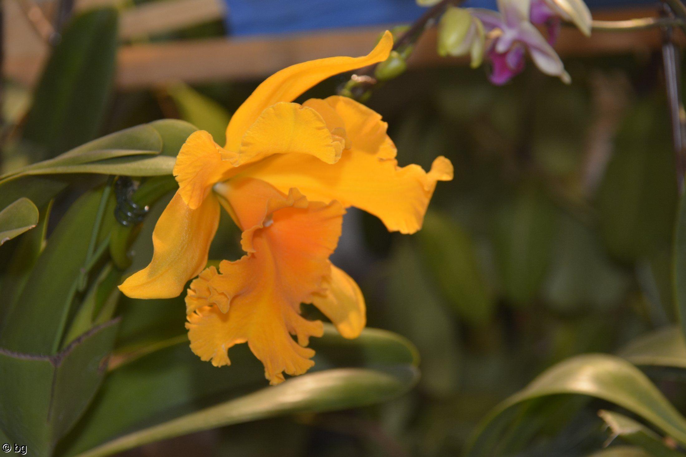 orchidee-rare
