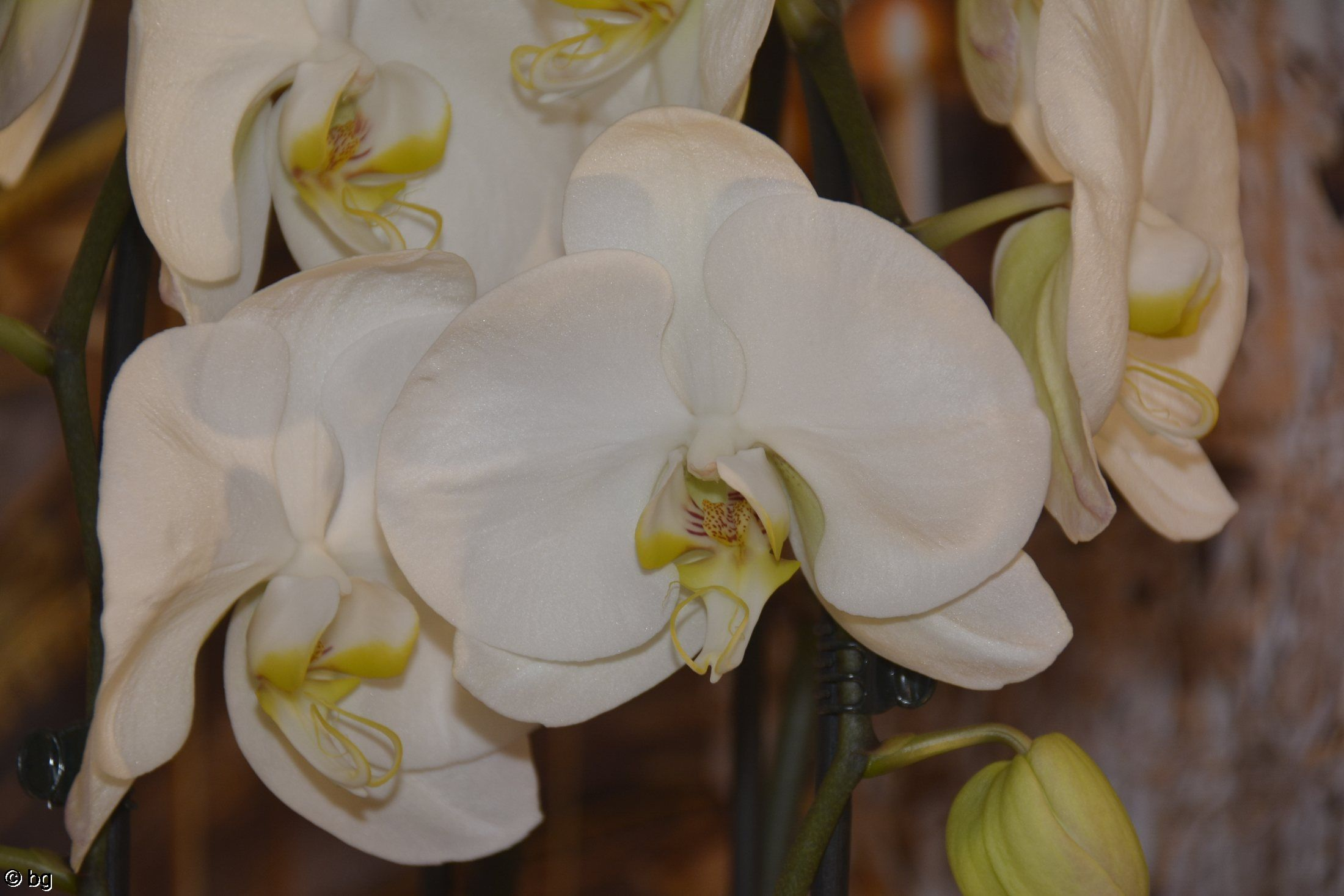 orchidees-exposition-blanches