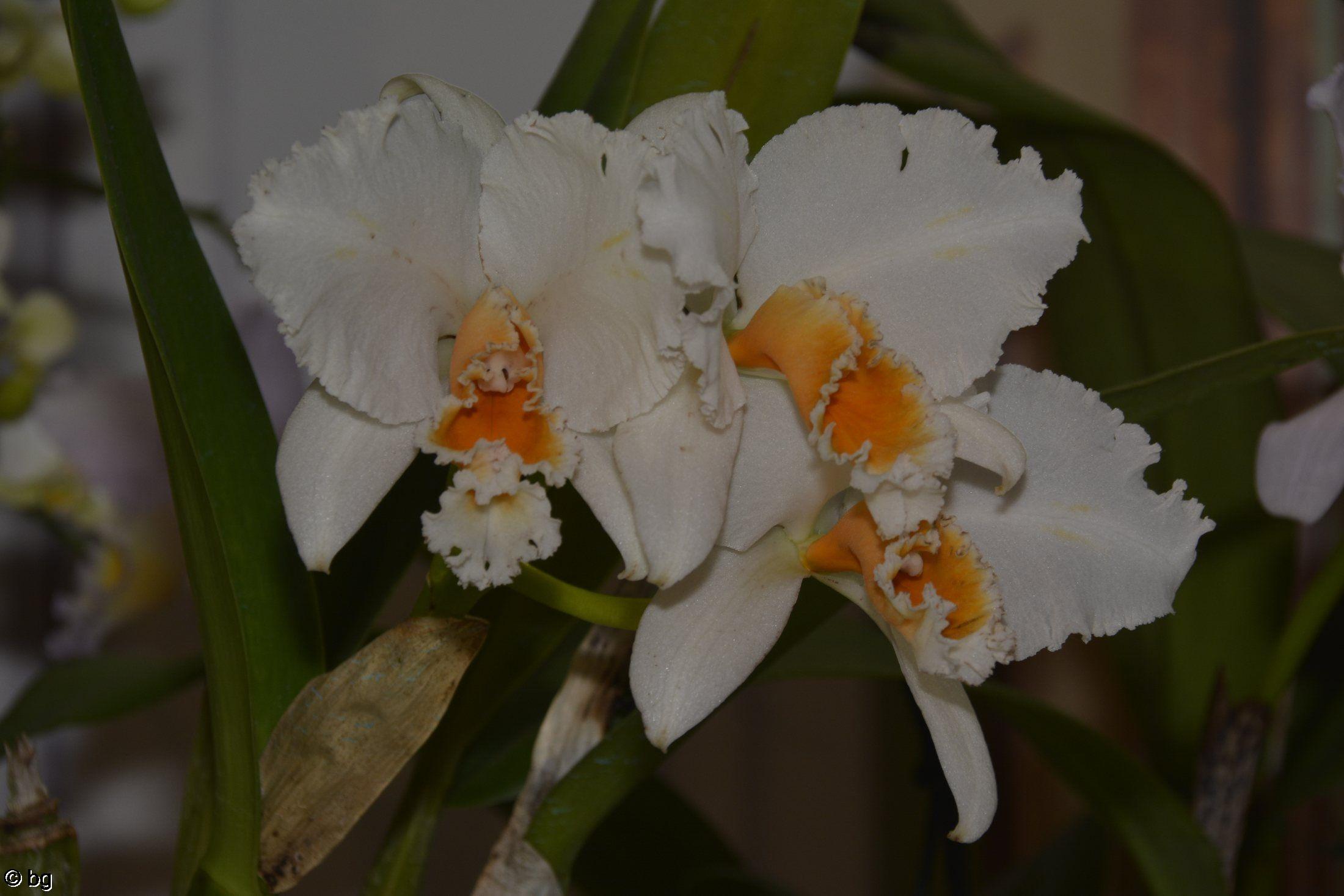 orchidees-jaune-et-blanc