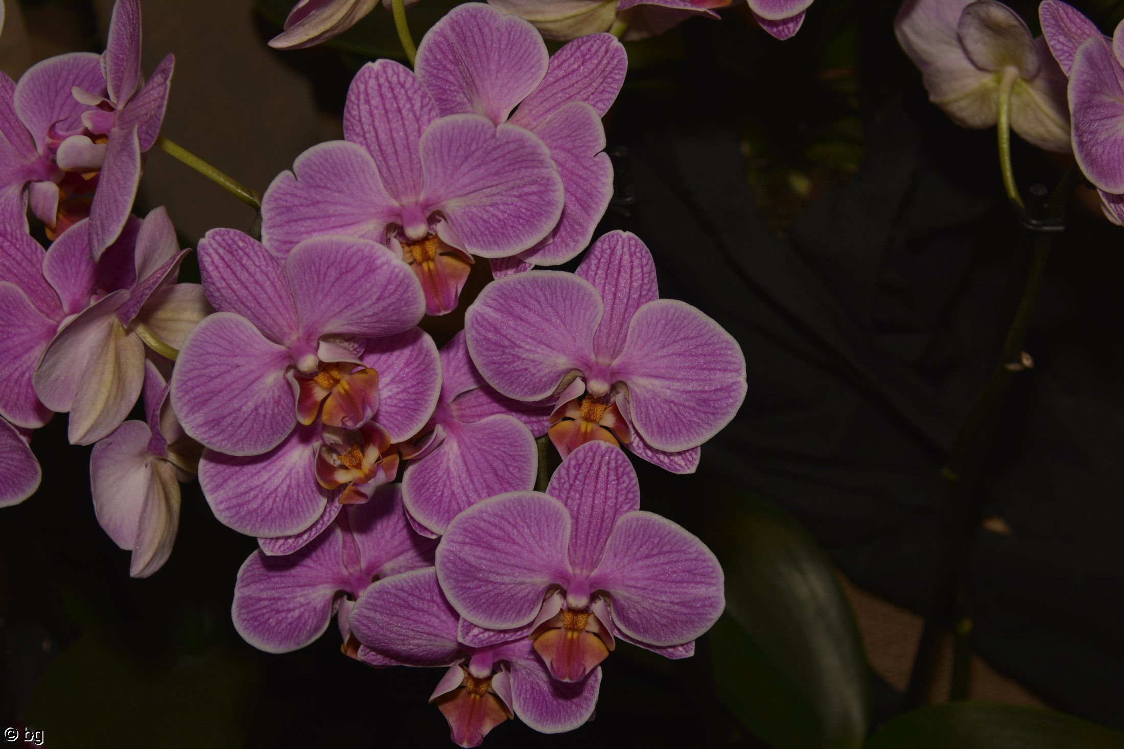 orchidees-mauve