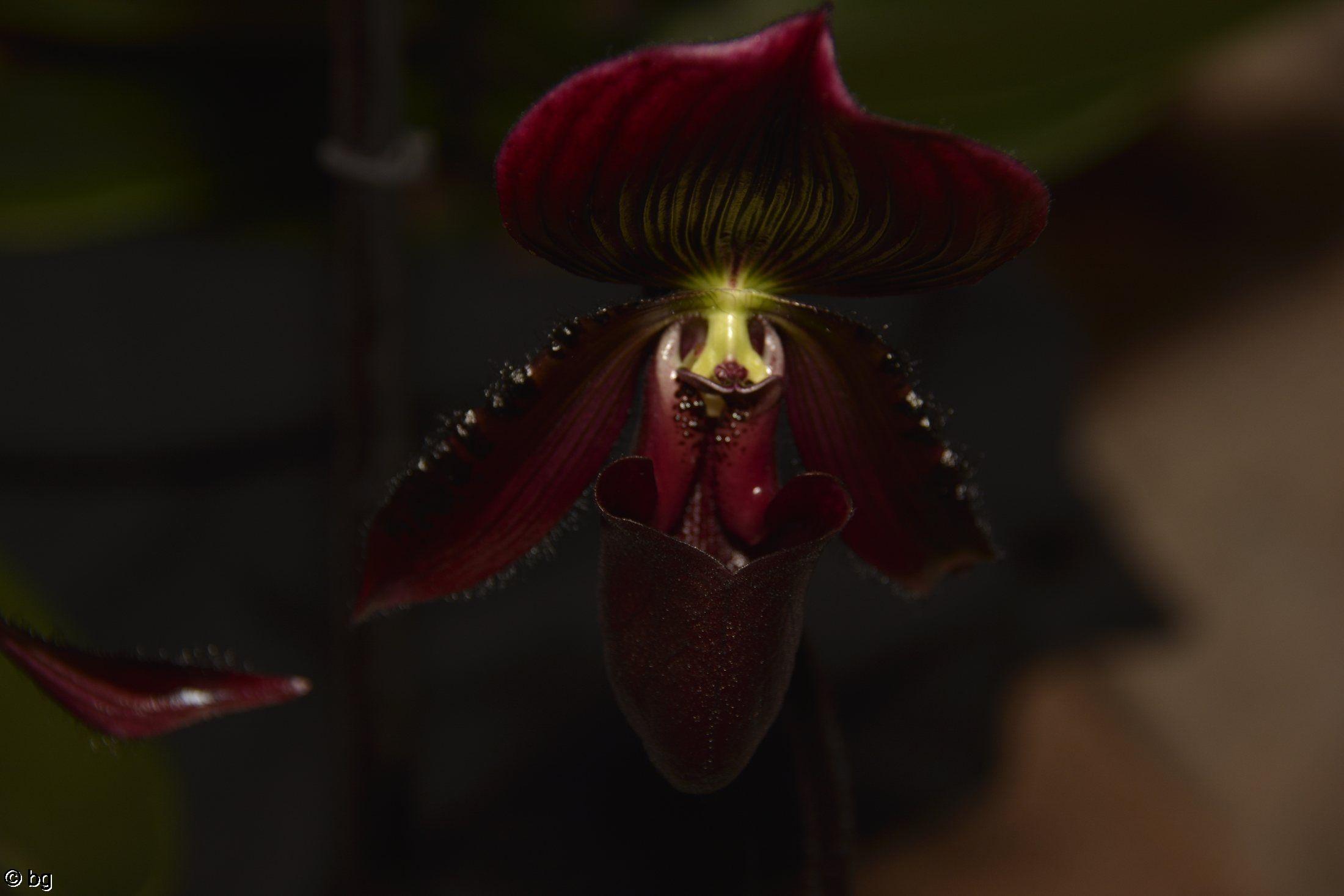 orchidees-paphiopodilum