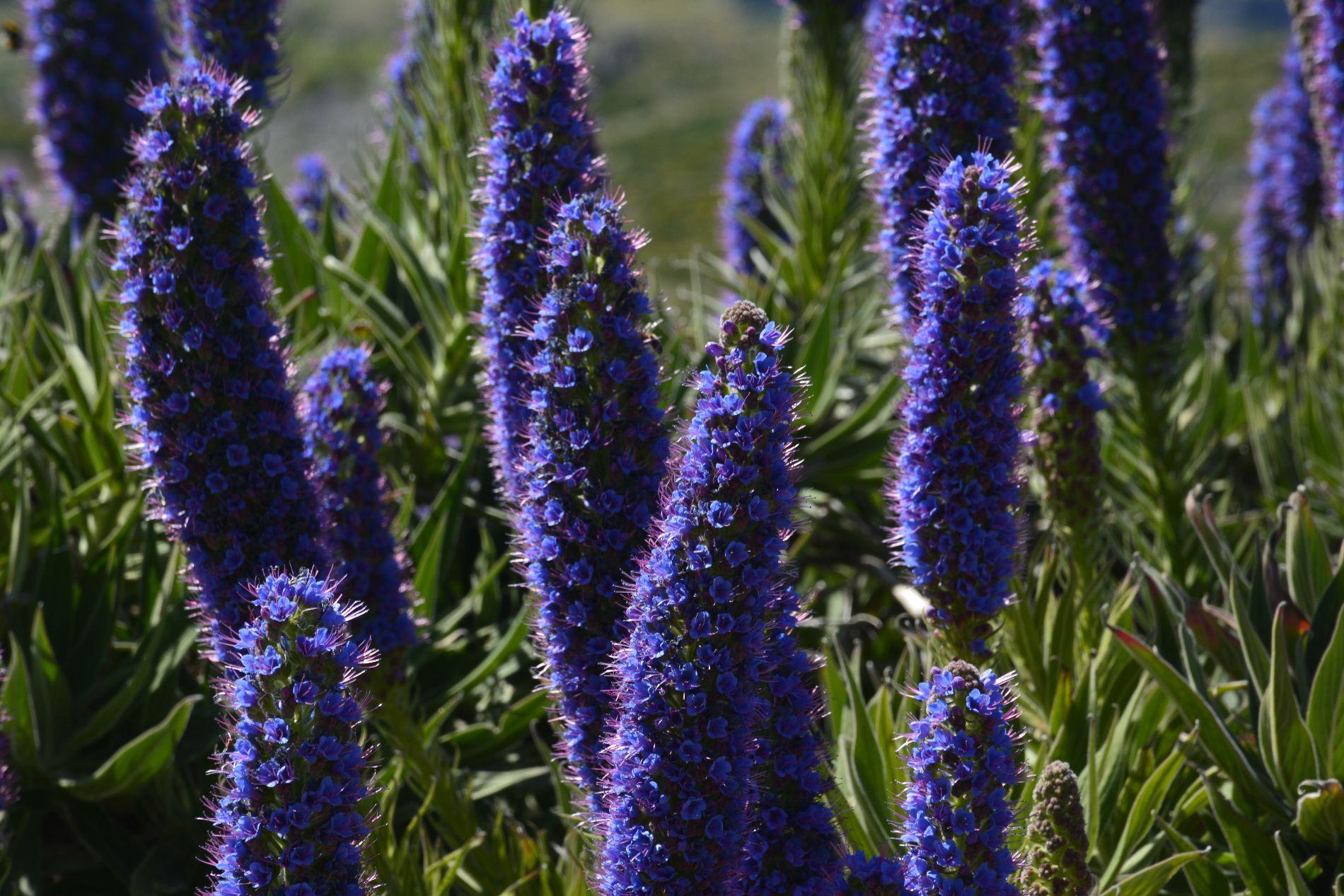bleu-intense-viperine-de-madere