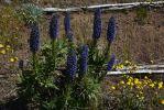 viperine-de-madere-massif-fleurs