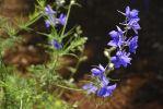 viperine-de-madere_echium-fastuosom_botanique
