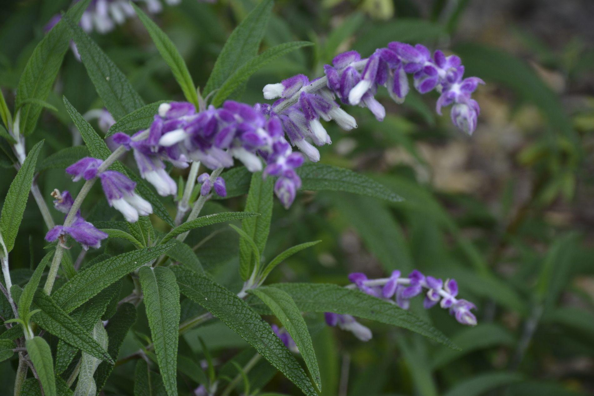 viperine-de-madere_echium-fastuosom_en-fleurs
