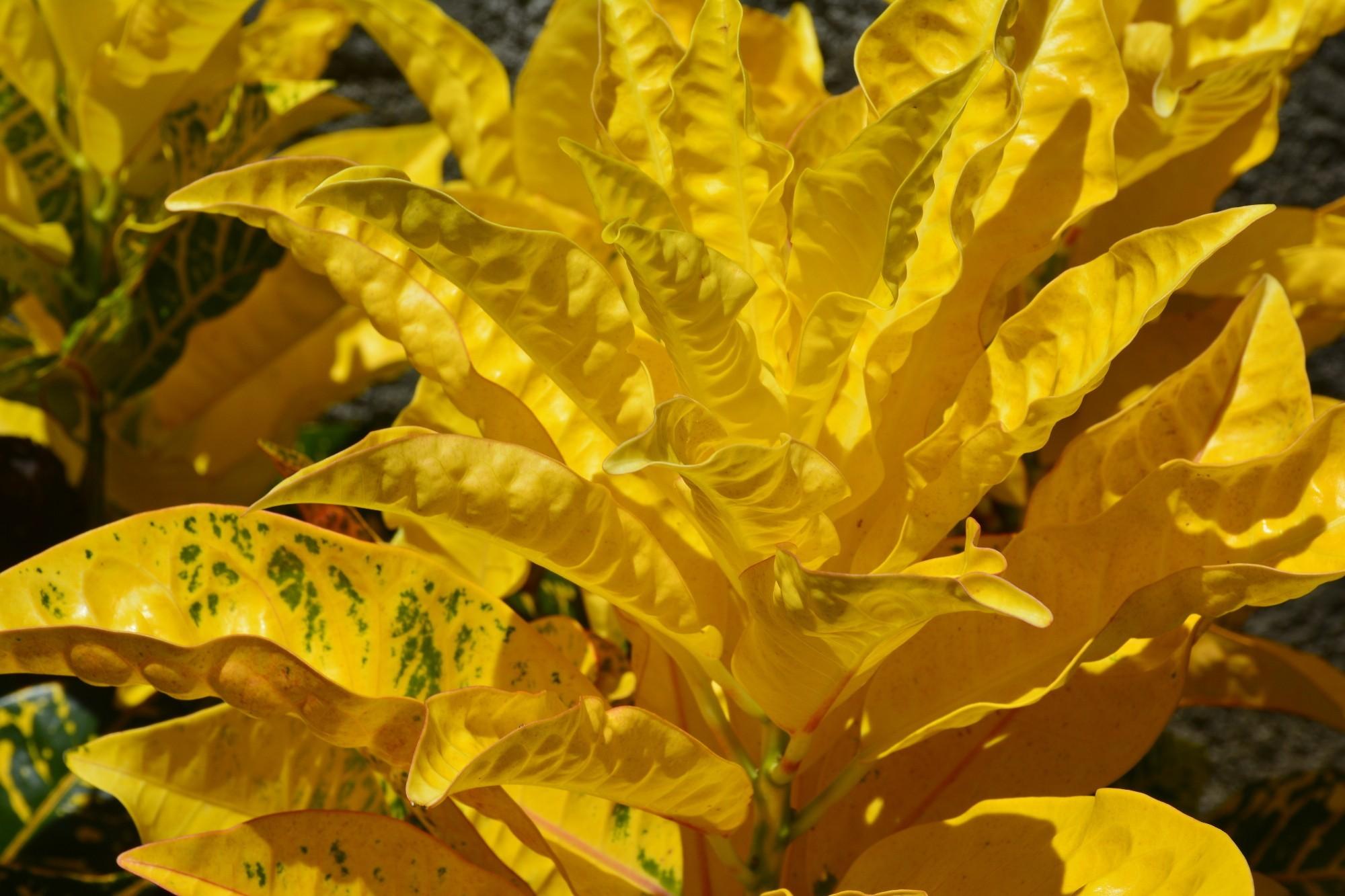 grand-feuillage-jaune-sous-lesl-tropiques-HDR