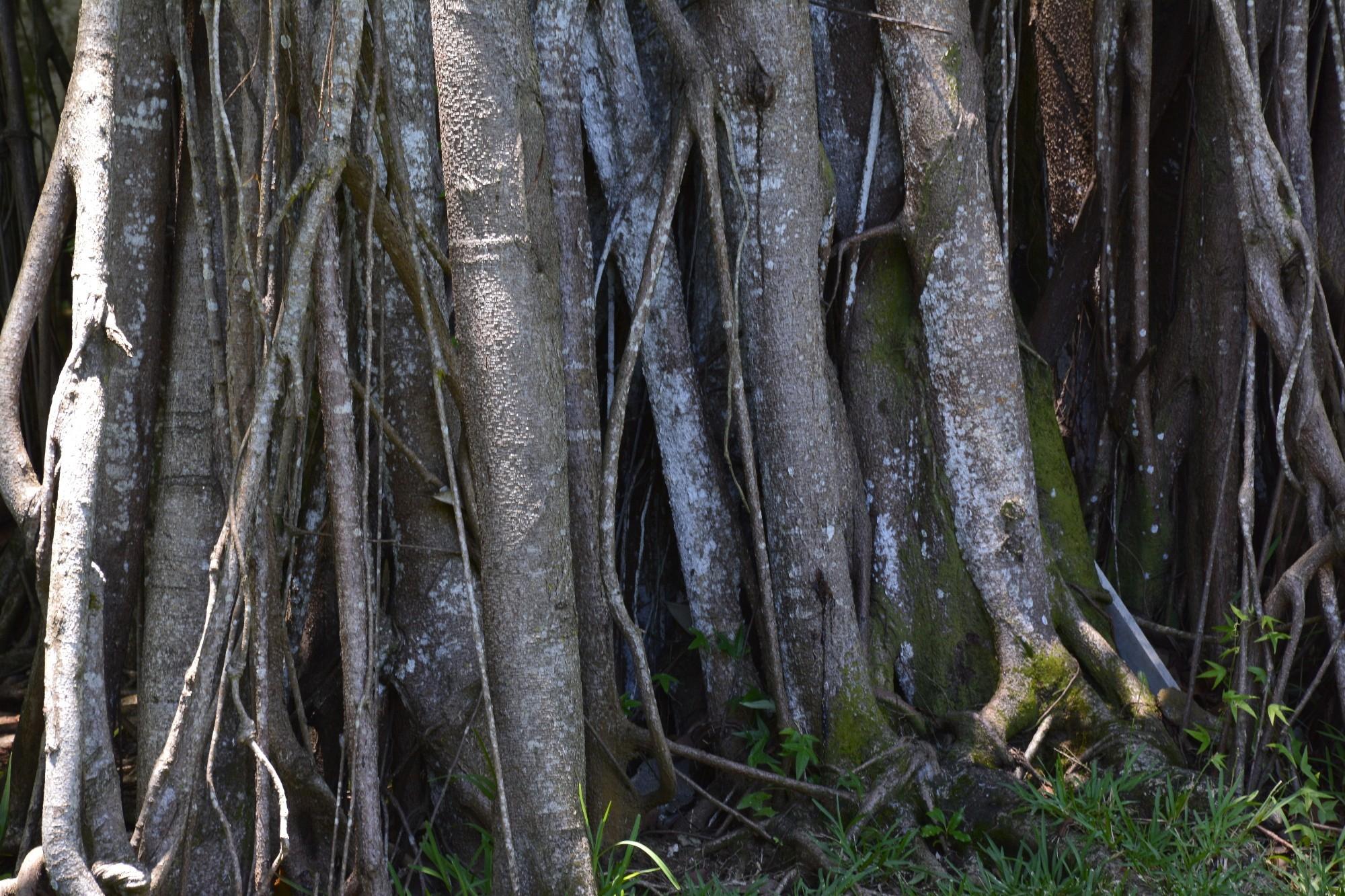 multiples-racines-sous-lesl-tropiques-arbre