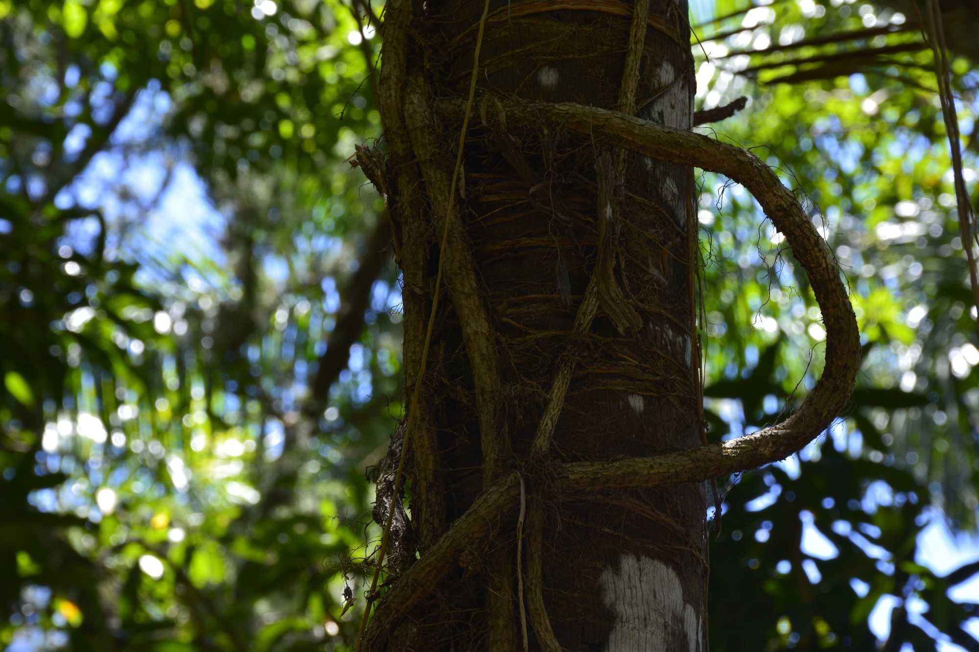 noeud-de-racine-sous-lesl-tropiques